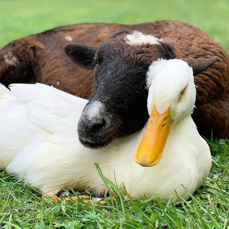 Goat and duck