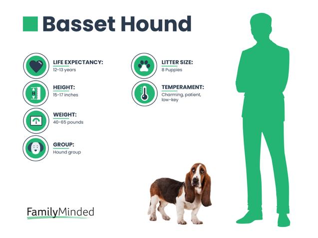 Basset Hound Info