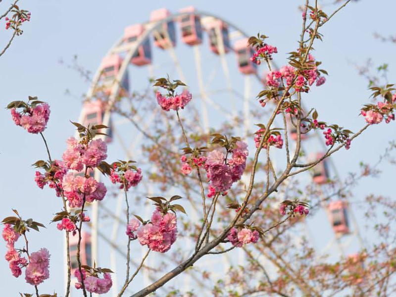 Cherry blossoms at Gucun Park in Shanghai