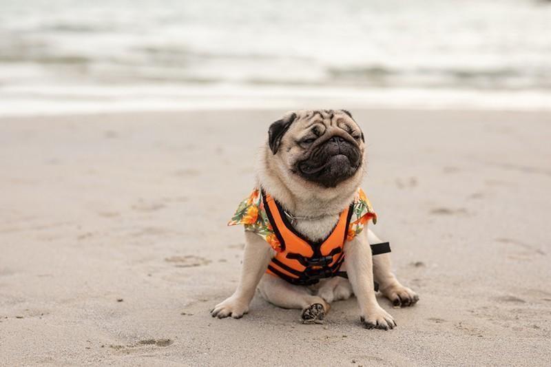 pug on beach