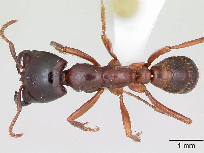 Dorylus Helvolus Ant