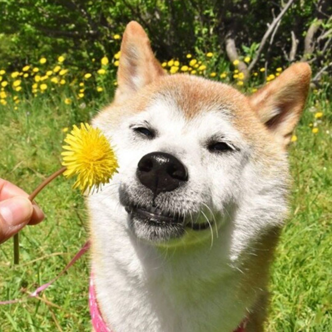 Shiba Inu smelling a flower