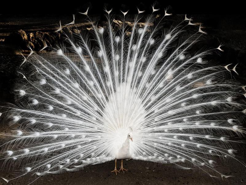 30. White Peacock