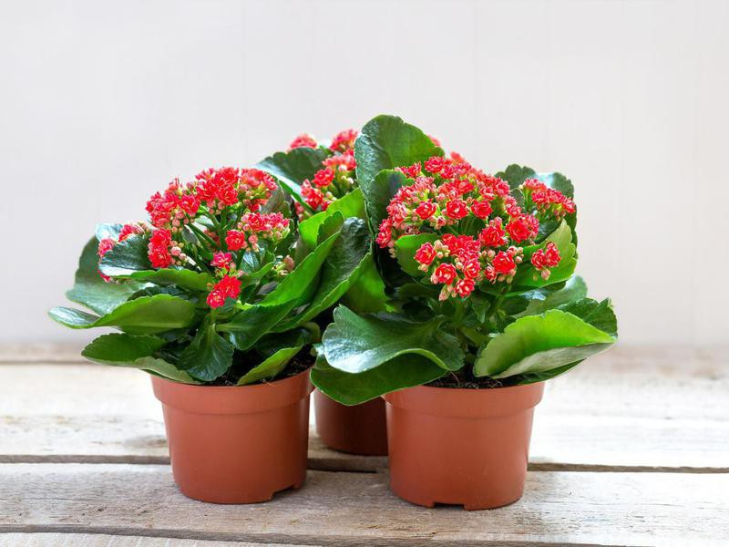 Red kalanchoe flowers