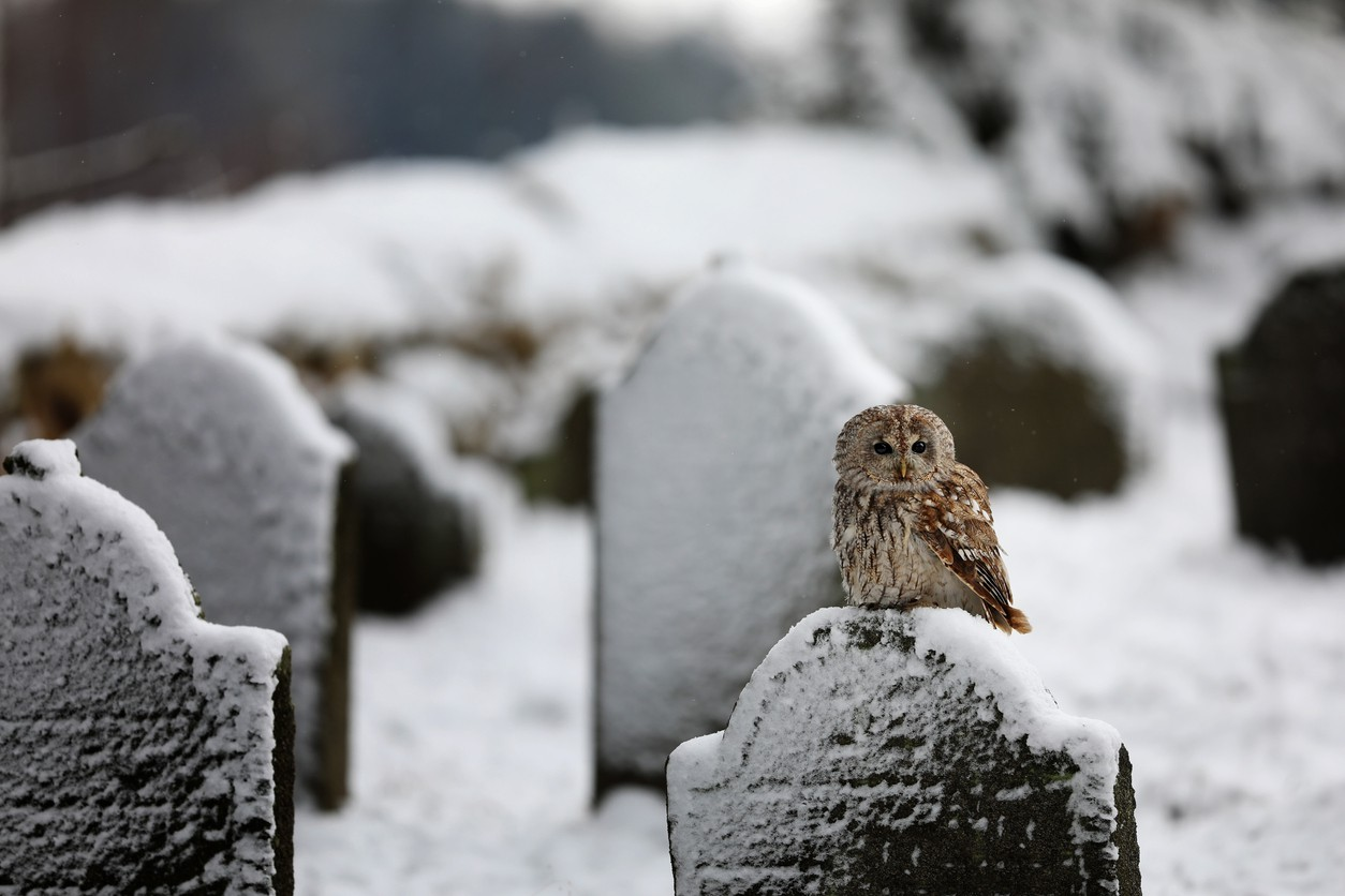 Tawny owl in a cemetery