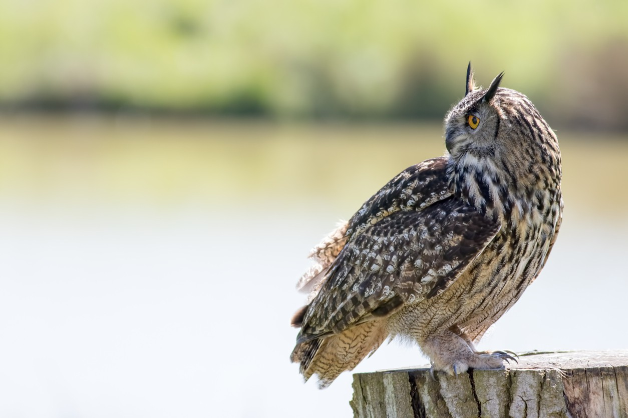 Owl turning its head 180 degrees