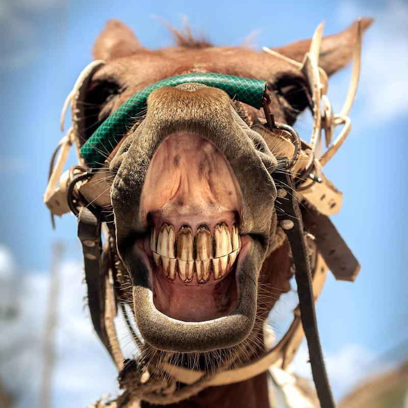 Horse smiling zoomed in