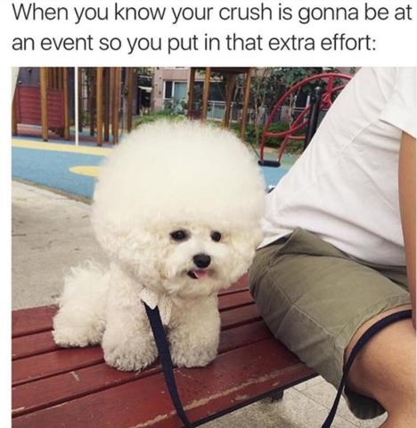 Poodle meme