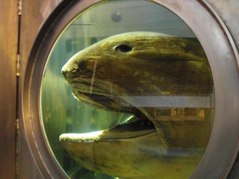 Megamouth Shark Head