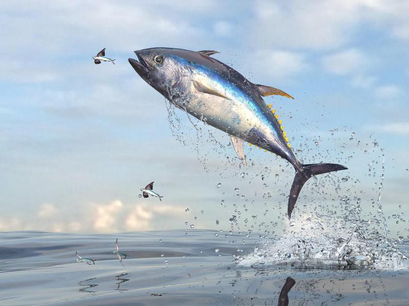 Flying fishes running away from tuna fish