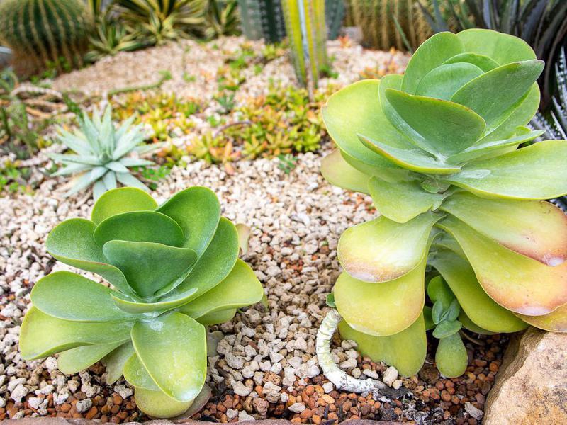 Paddle plant cactus