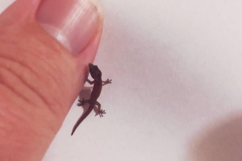 Jaragua Dwarf Gecko