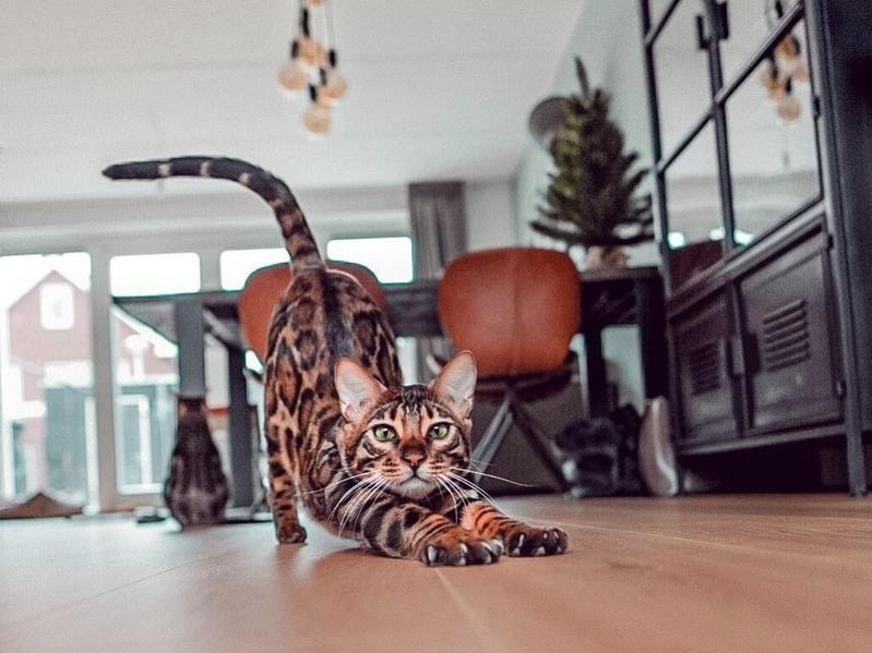 Bengal cat stretching