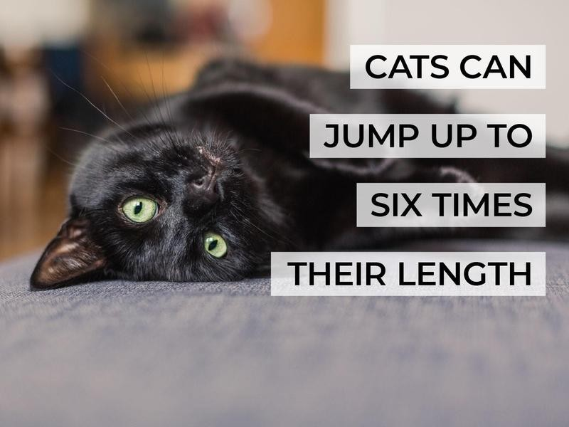Cats Can Jump Up to Six Times Their Length