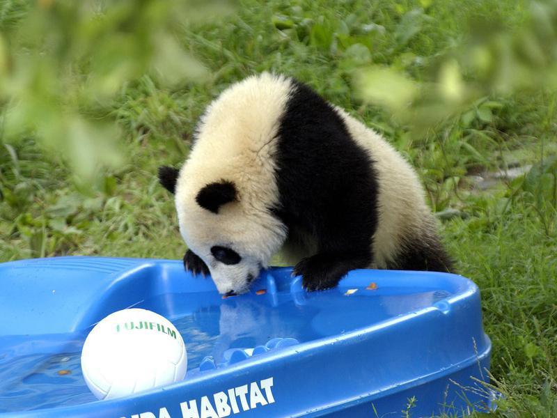 Can panda bears swim?