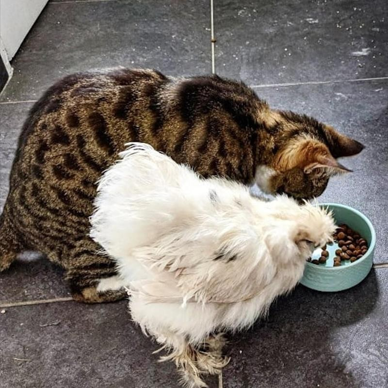 Cat and chicken eating