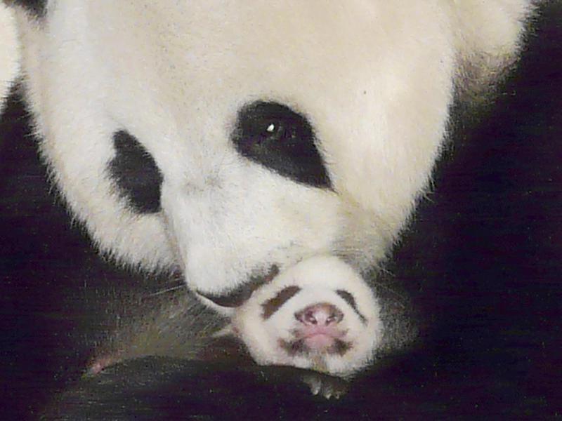 How do panda bears reproduce?
