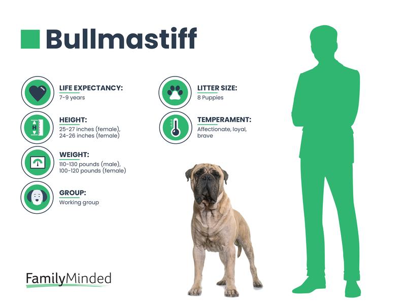 Bullmastiff Breed