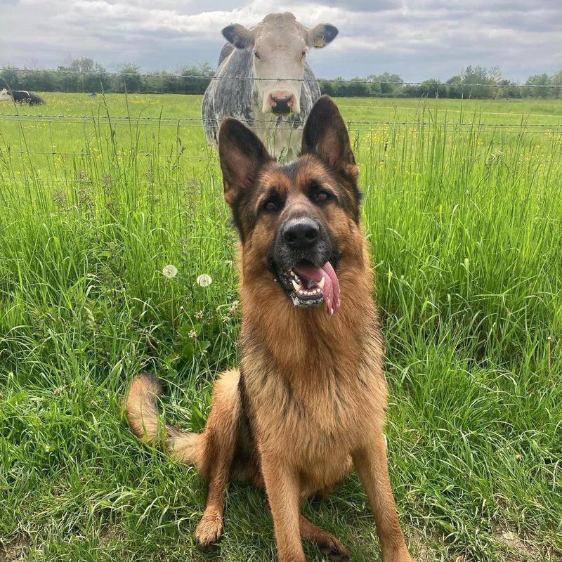 Cow photobombing dog