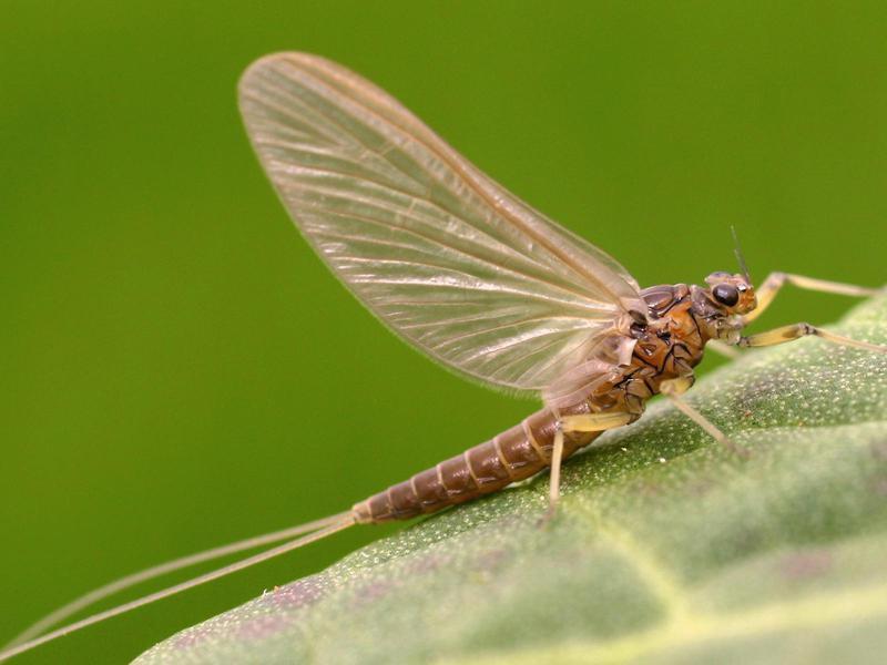 Proboscidoplocia Mayfly