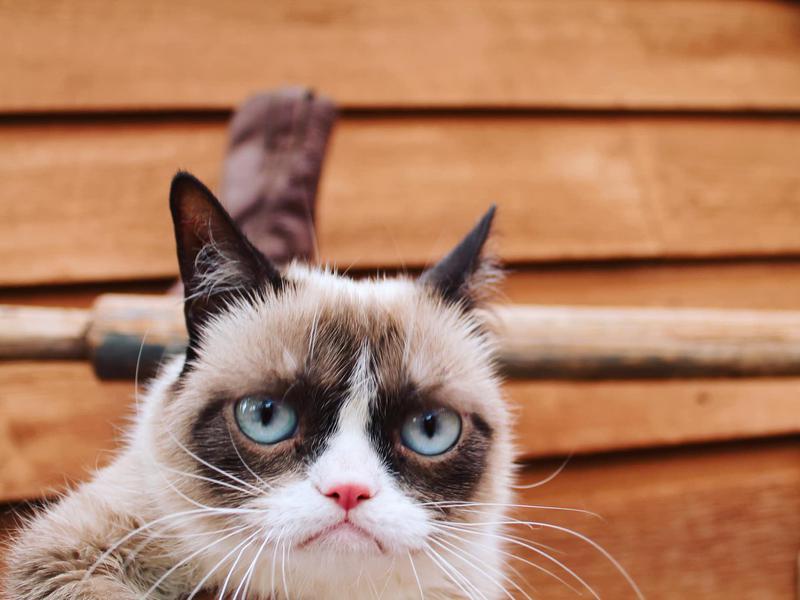 Tardar Sauce (aka Grumpy Cat)