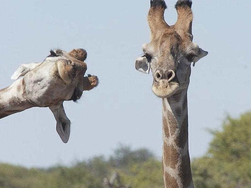 Funny giraffe picture