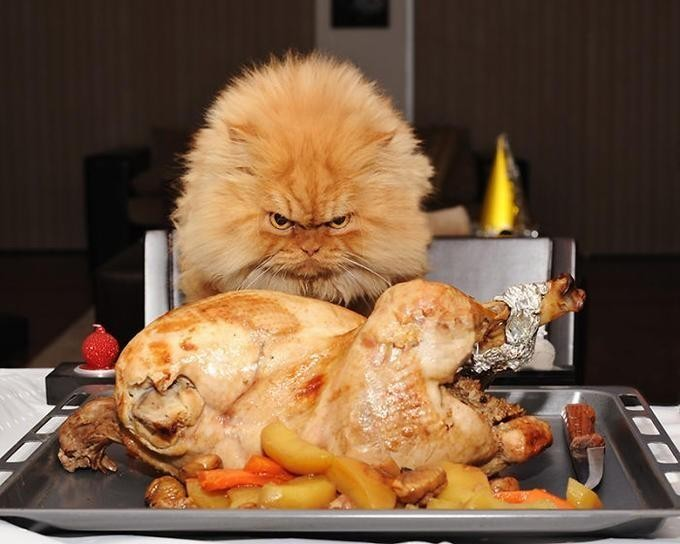 Angry cat wants chicken