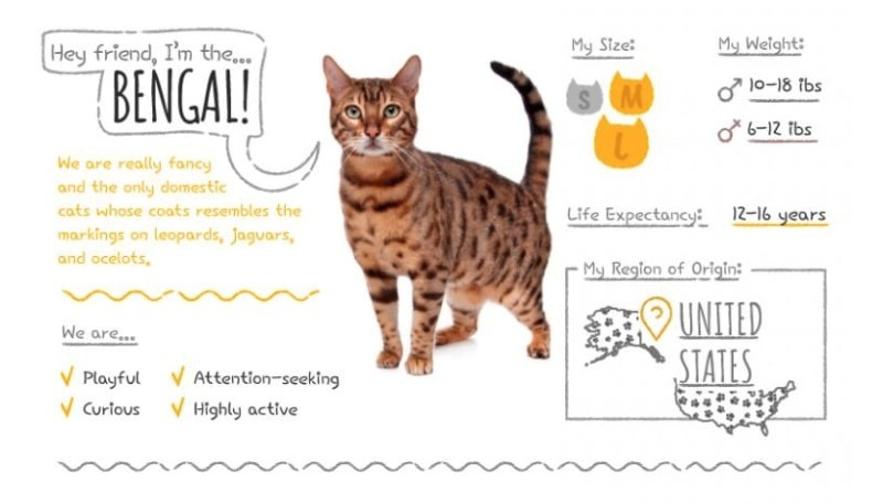 bengal cat stats