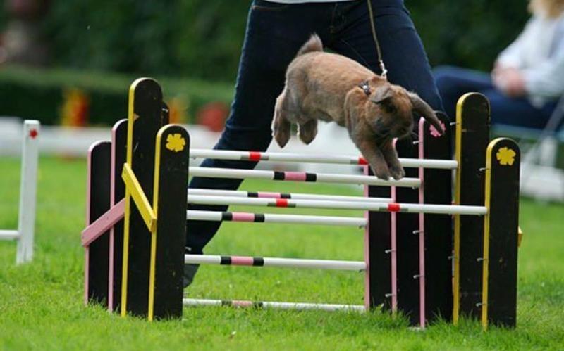 A rabbit hopping over hurdles