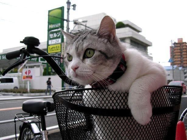 Cat in a bike basket