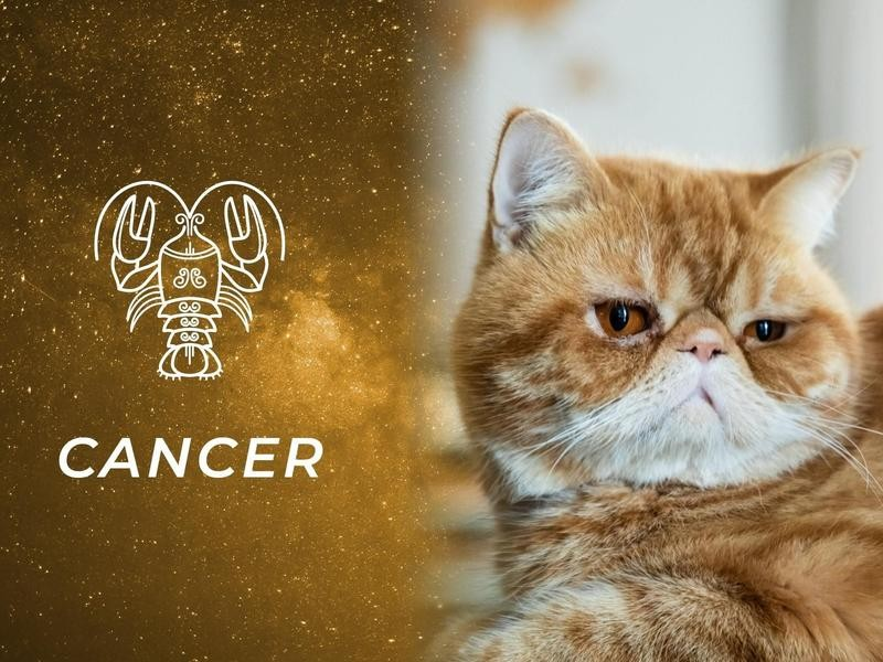 Cancer: Exotic Shorthair