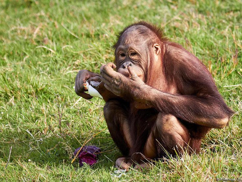 Orangutan at the Zoo de La Palmyre