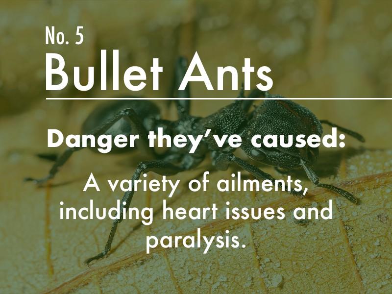 Bullet Ant dangers
