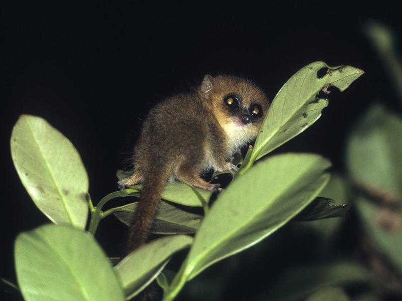 Hairy Eared Dwarf Lemur