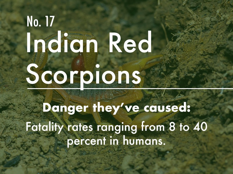 Indian Red Scorpion dangers