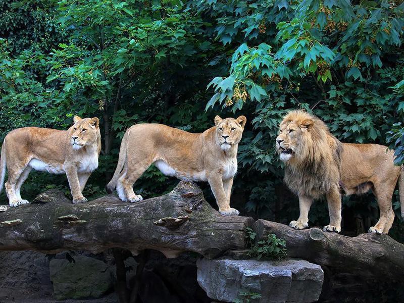 Lions at the Artis Royal Zoo