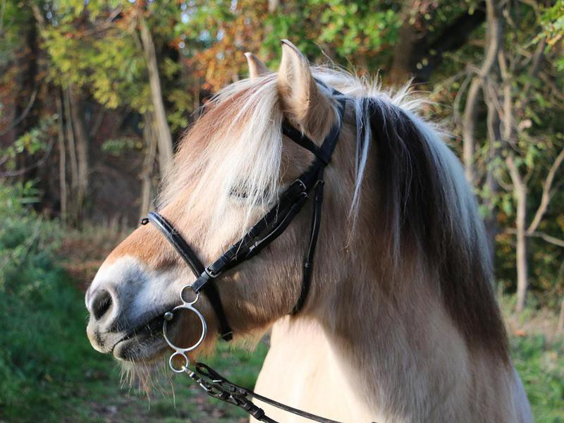 portrait of a fjord horse in the autumn forest