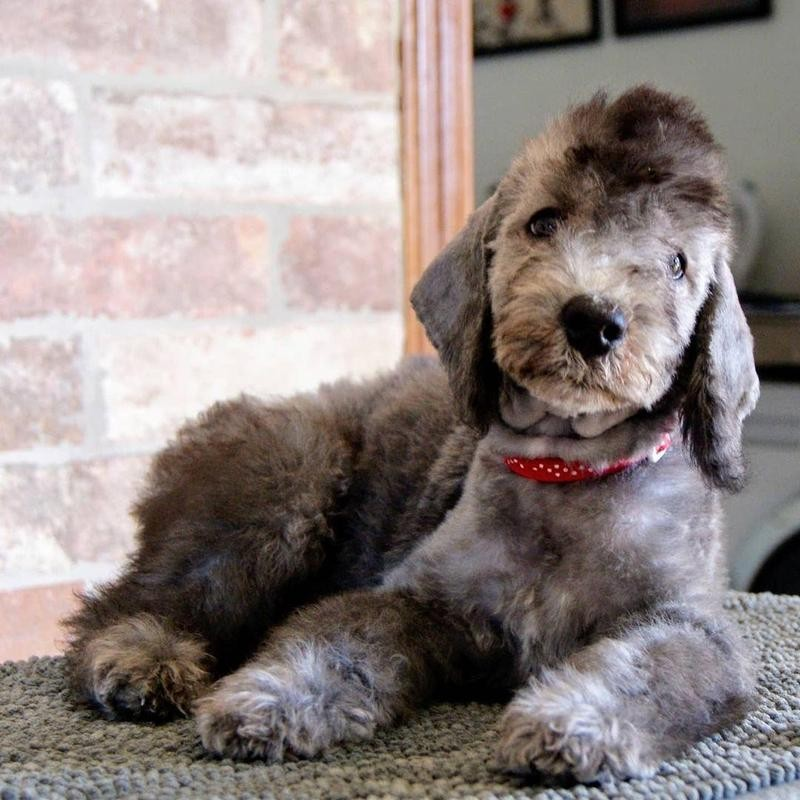 Bedington Terrier