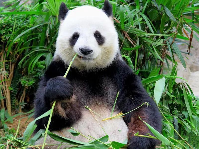 Cute panda eating bamboo