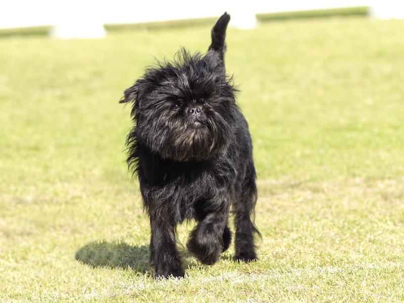 Small dog breed: affenpinscher