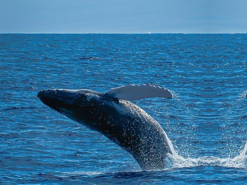 Jumping Blue Whale