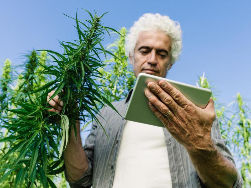Farmer in a hemp field