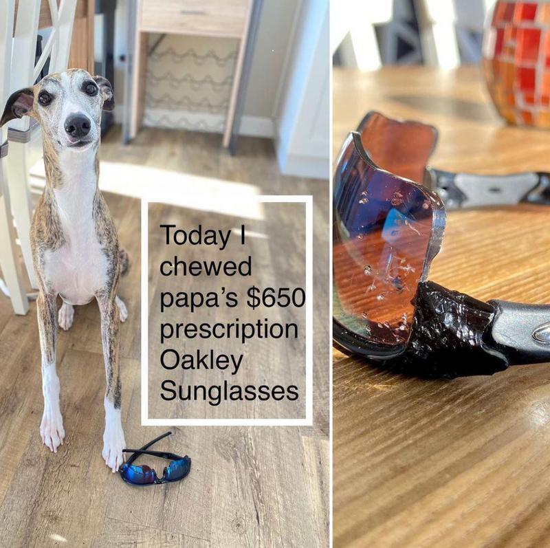 Whippet dog ate sunglasses
