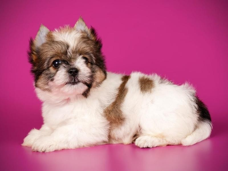 Recessive Piebald Color Is a Clue That They Are Not Just Yorkies