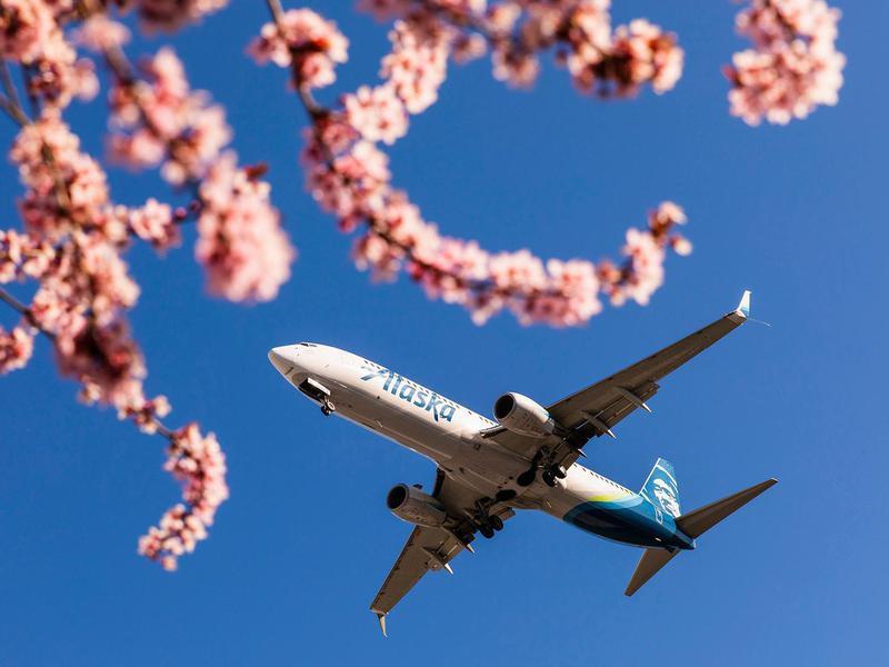 Alaska aircraft with cherry blossoms