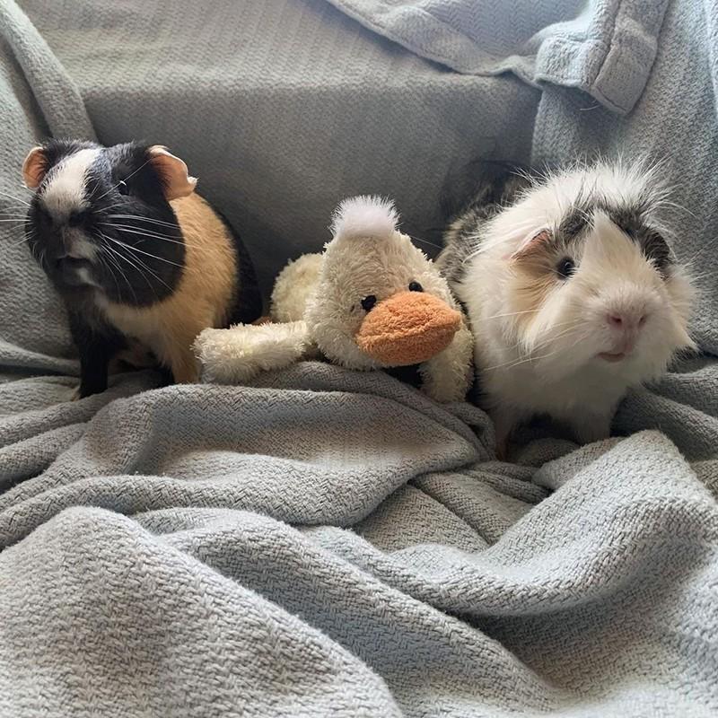 Guinea pigs