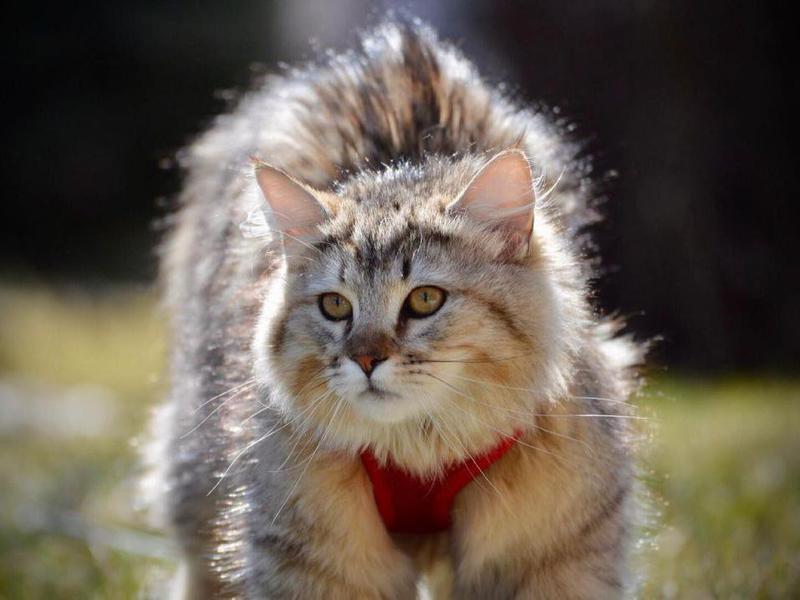 Pixiebob cat exploring outside