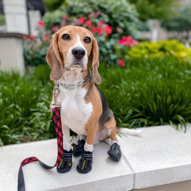 beagle walking outdoors
