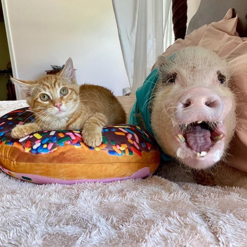 Pig and kitten