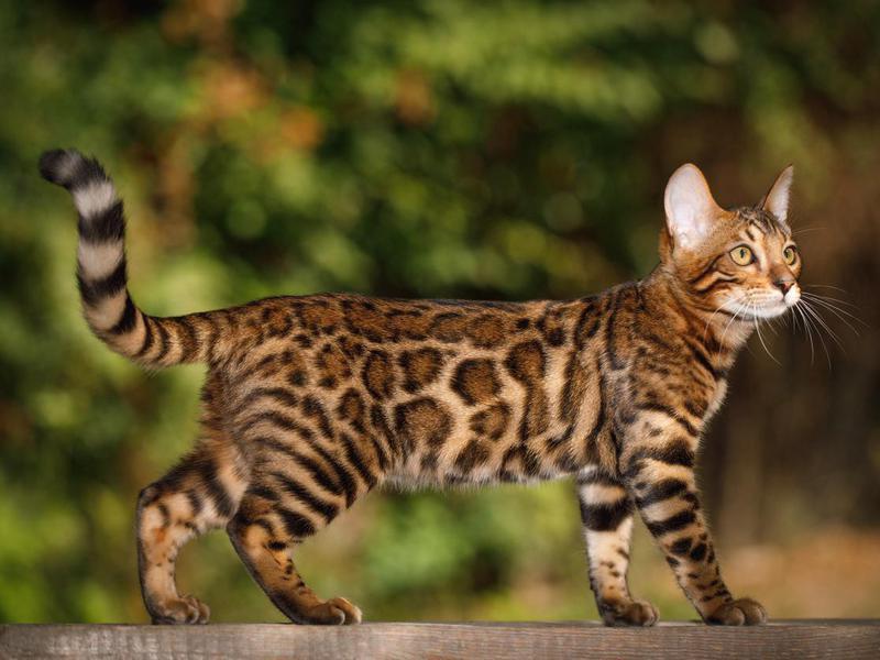 Bengal Cat outdoors